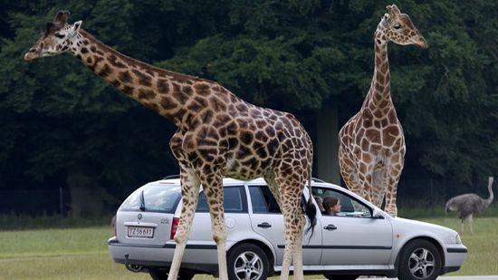 girafbil