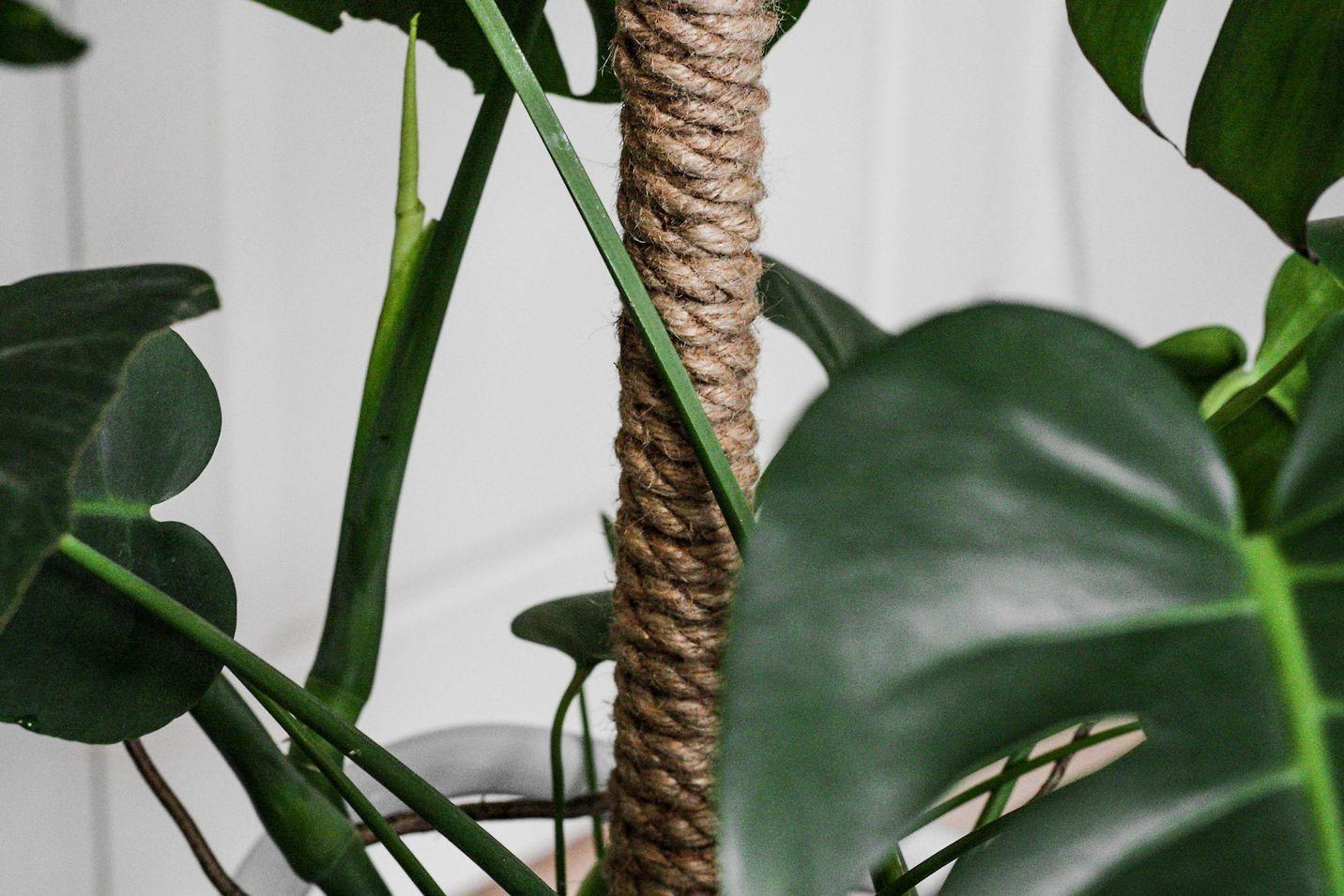 mospind til monstera plante