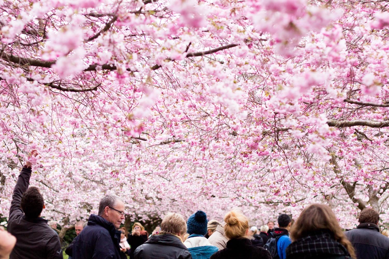bispebjerg kirkegård, japansk kirsebærtræ, kirsebæralle, københavn
