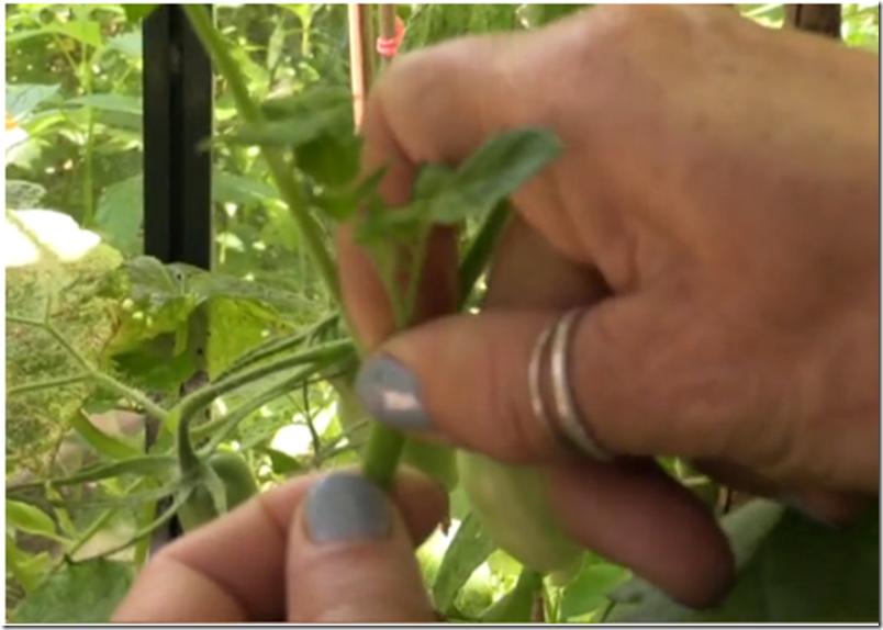 Kvistens haveskole sådan kniber du tomaterne  Dorthe Kvist Meltdesignstudio a