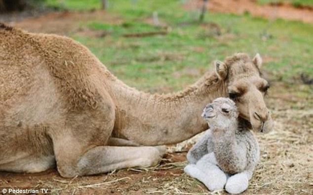 Billedresultat for baby camel