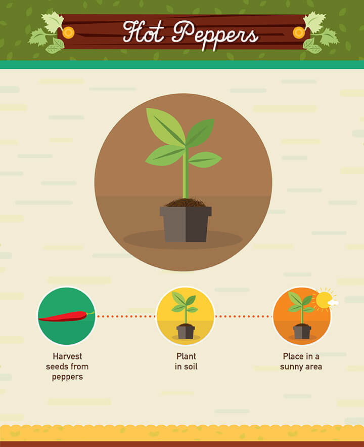 How to grow hot peppers from scraps