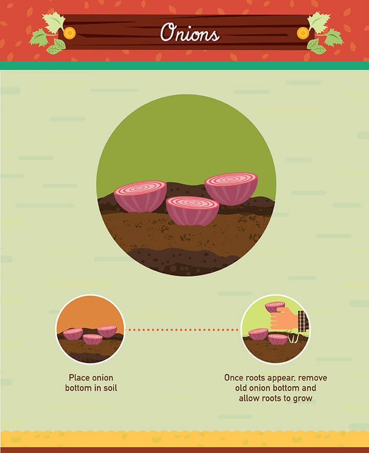 How to grow onions scraps