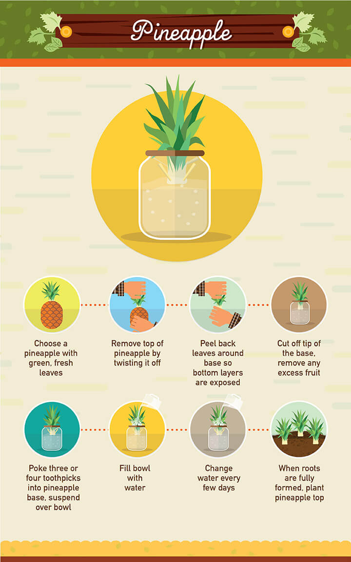 How to grow pineapple from scraps