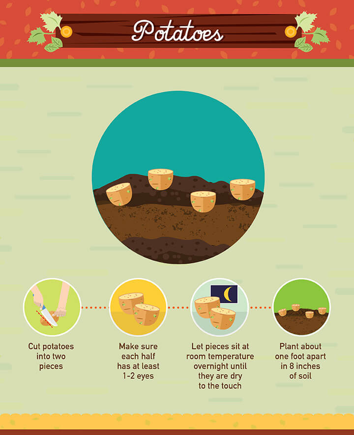 How to grow potatoes from scraps