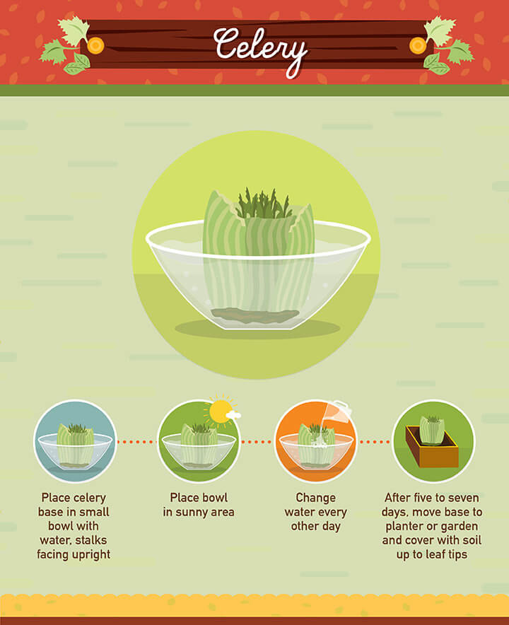 How to grow celery from scraps