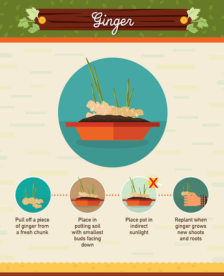 How to grow ginger from scraps