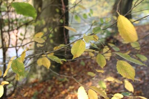 Det var svært i blæsevejret at fokusere på vinden, fordi blæsten ruskede i bladene. Men helt klart dejlige farver!