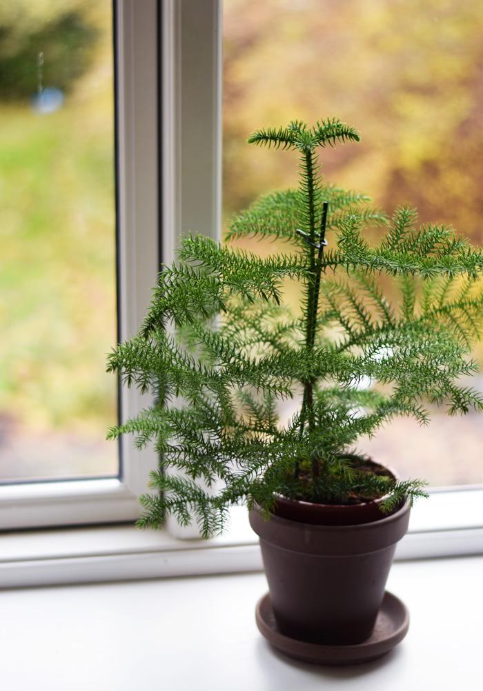 stuegran-fra-plantorama-abestrak-Araucaria-heterophylla-plante-lille-juletra-missjeanett-december