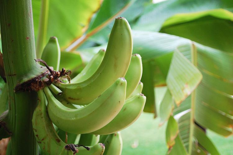 boavista-boa-vista-kap-verde-cape-cabo-bananer-bananas-palmer-hvad-skal-man-se-paa-miss-jeanett-blogger-palm-trees-750