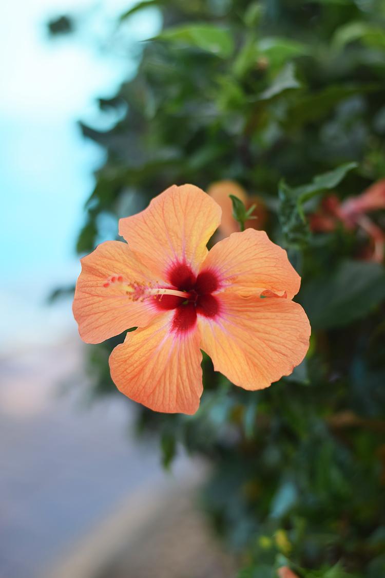 Kap Verde eksotiske blomster - orange hibisbus hawaiiblomst