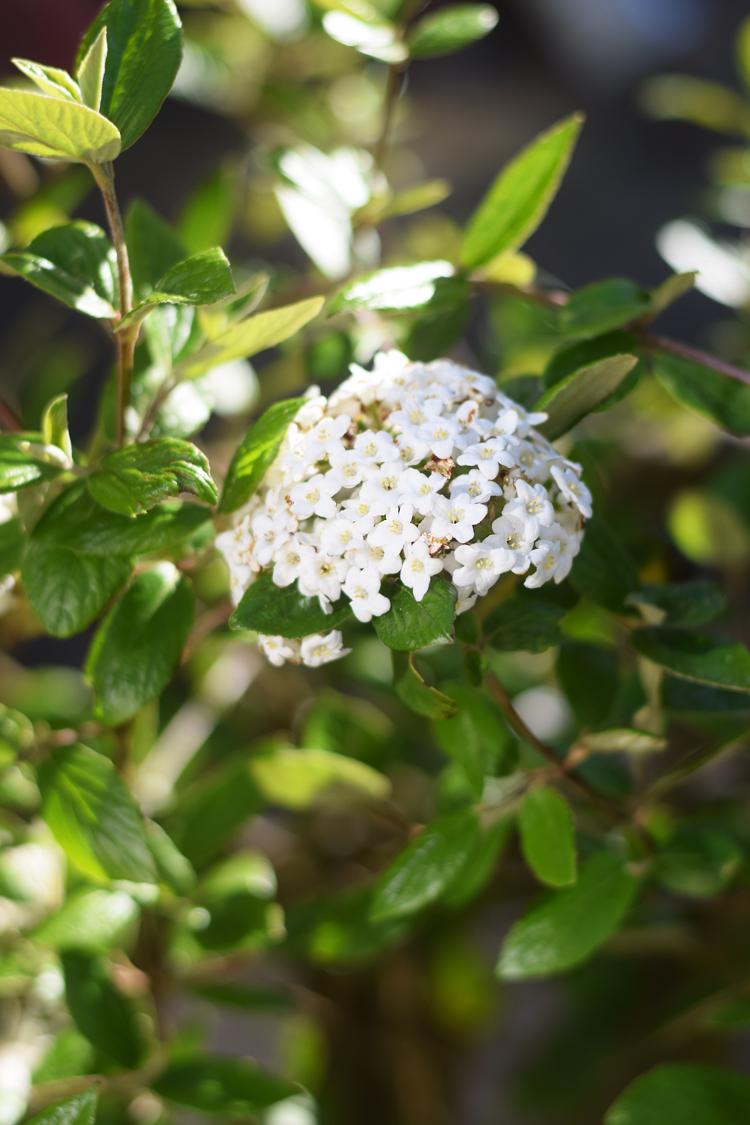 Duft snebold blomst busk