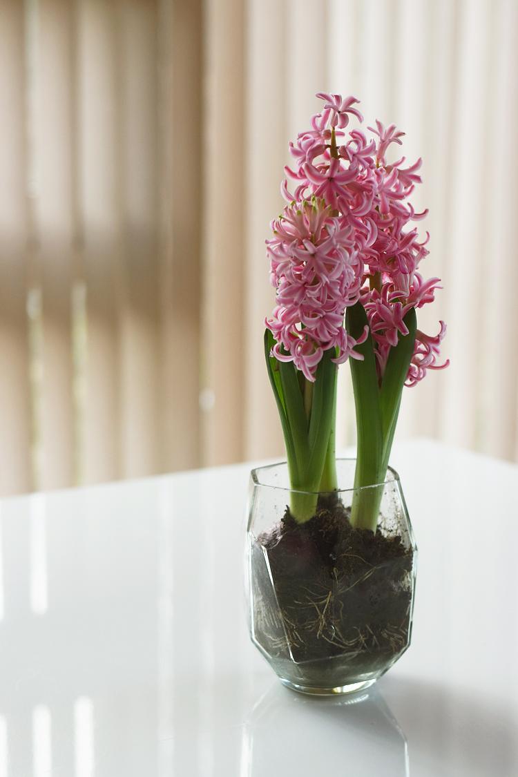 lyserøde hyacinter