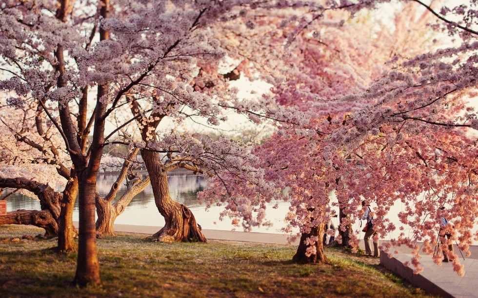 park-cherry-blossoms