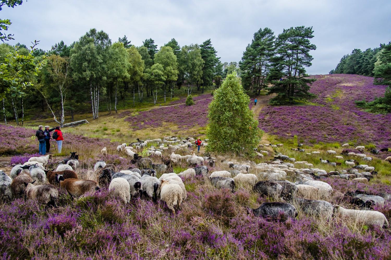 Wandern inmitten einer Schafsherde in der L++neburger Heide CR TMN