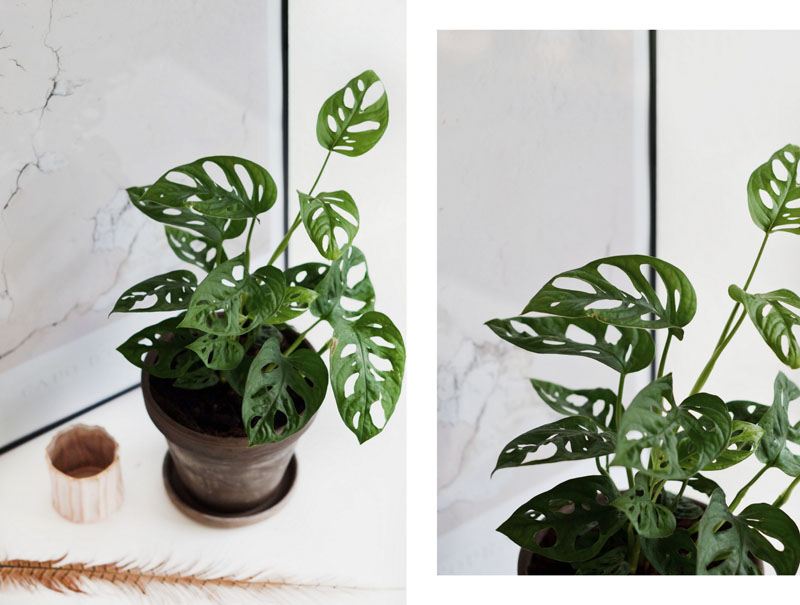 monstrea-obliquia-dette-aars-trend-plante