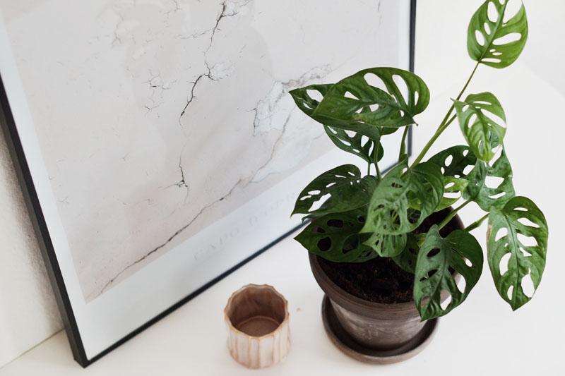 trend-plante-2017-monstrea-obliqua