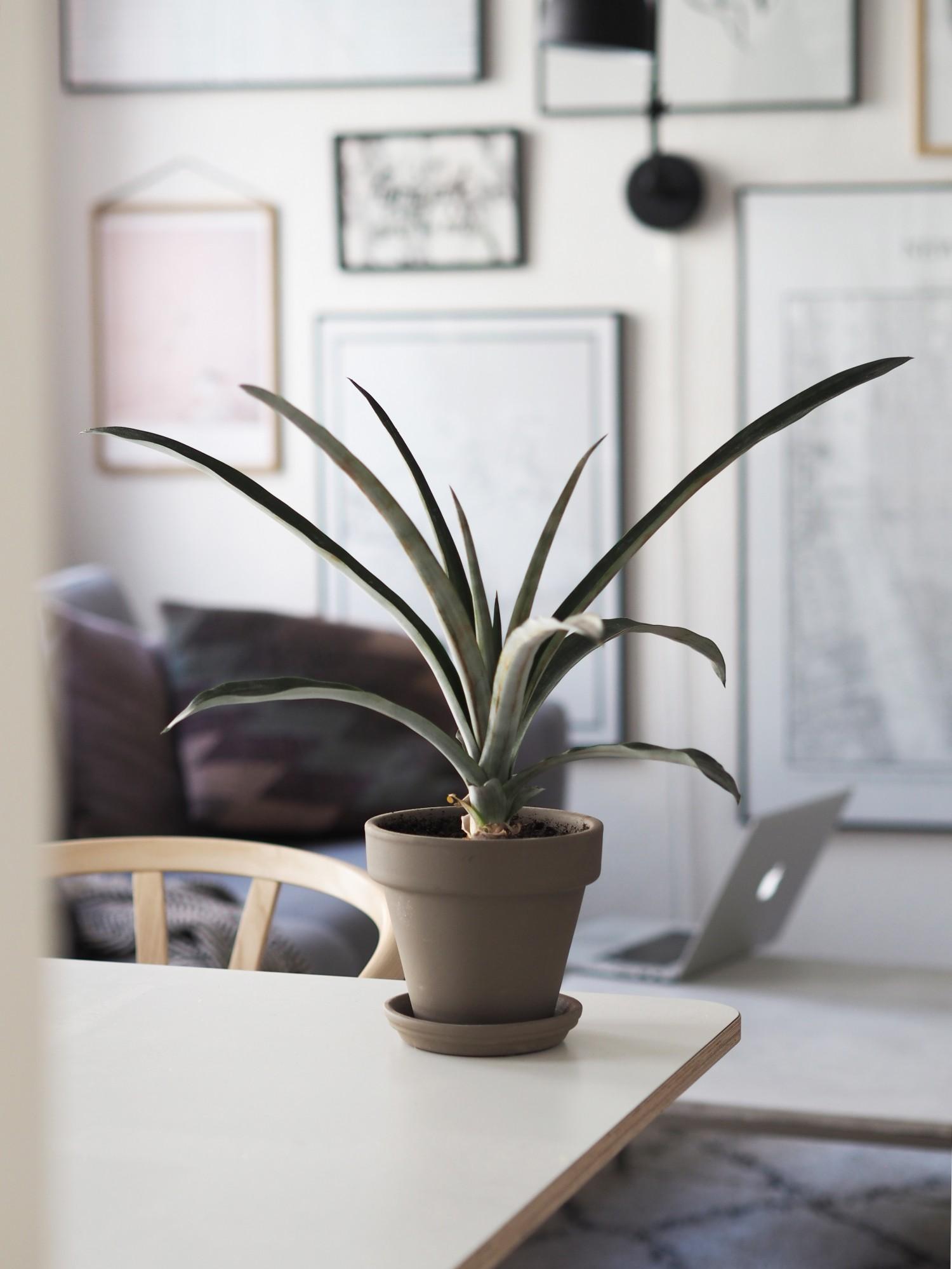 ananas-plante