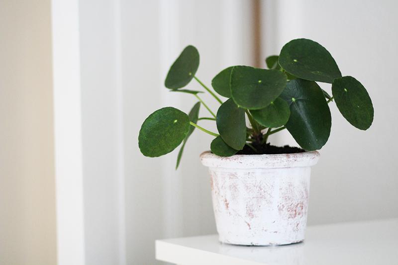 Populære planter