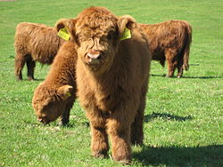 250px-highland_cattle_4