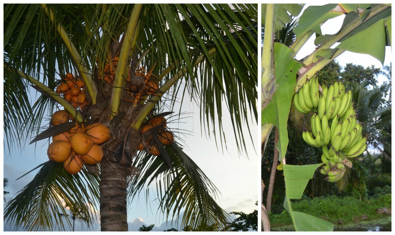 banan-og-kokos-plante