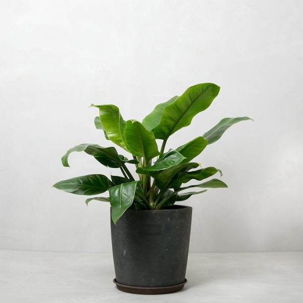 philodendron_imperial_greenify-600x600