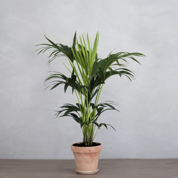 kentiapalme-4-600x600