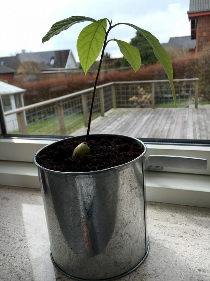 avocadotræ1